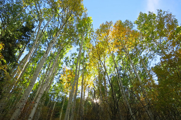 Aspens in Telluride - Photo by Hideaway Report editor