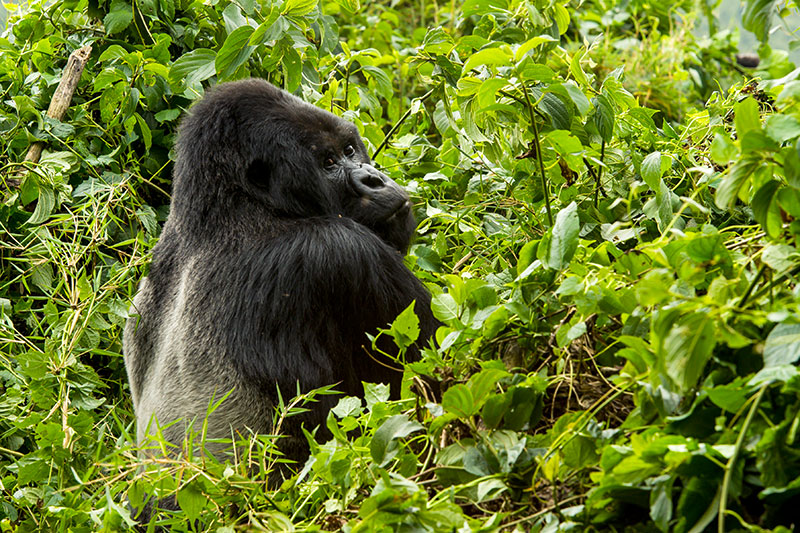 Mountain gorilla at Bisate Lodge