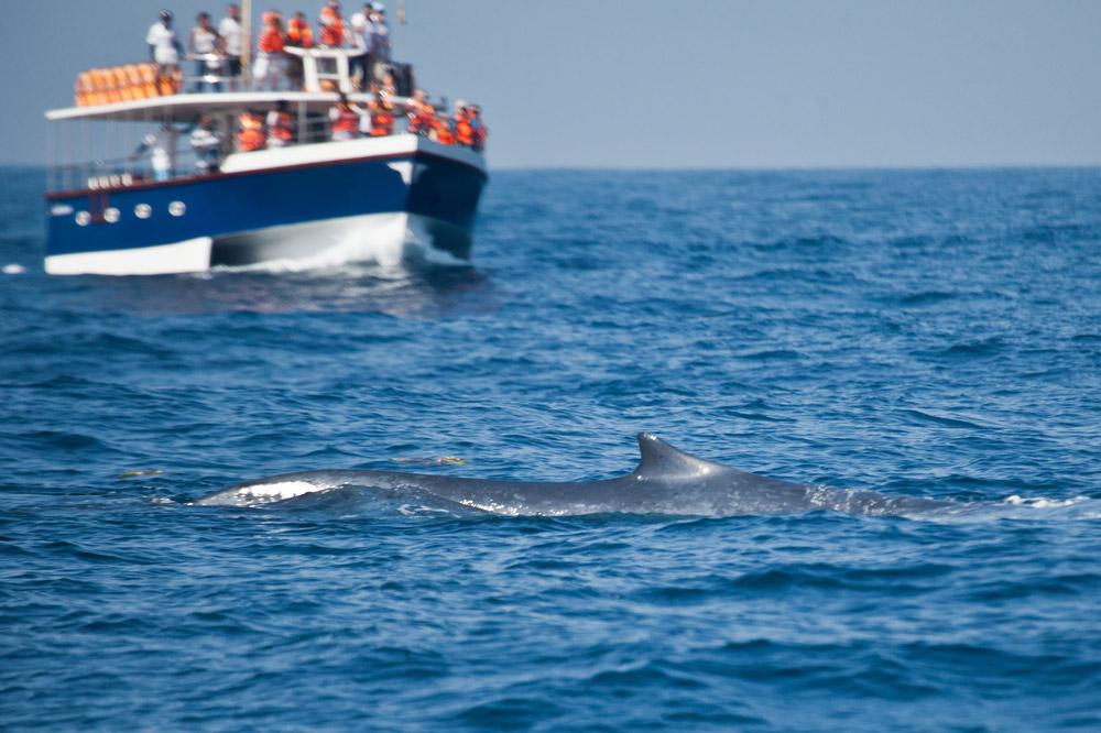 Whale watchers spot a blue whale off the coast of Sri Lanka
