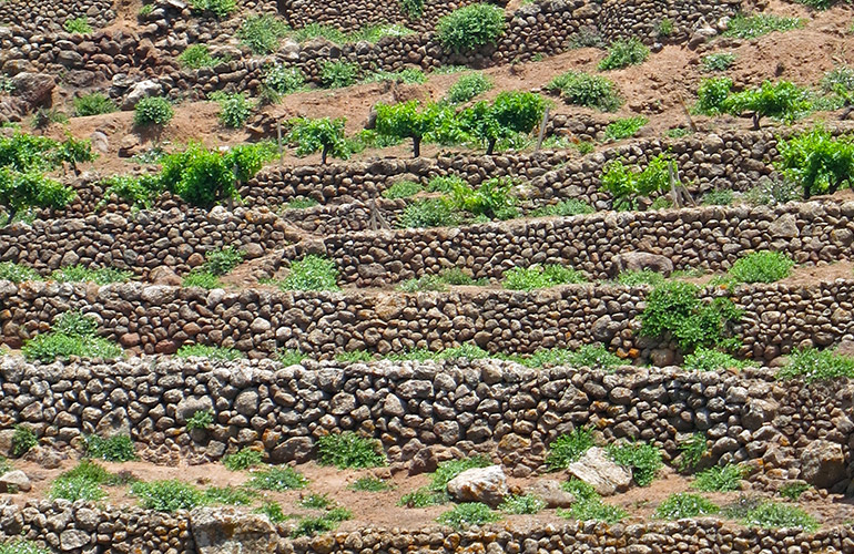 Terraced caper farm on the island of Pantelleria, Italy