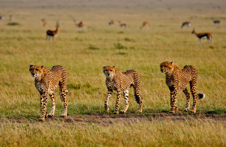 Cheetah on the hunt in the Maasai Mara National Reserve in Kenya