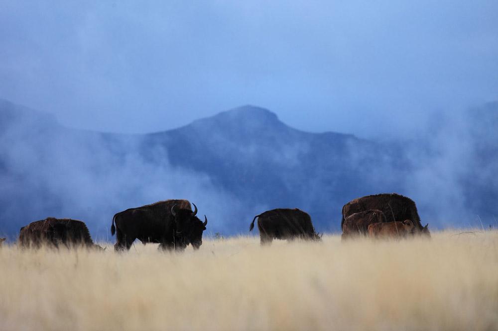 Bison at Cibolo Creek Ranch
