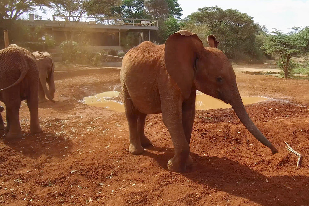 Orphan elephant at the David Sheldrick Wildlife Trust - Scott Dubois