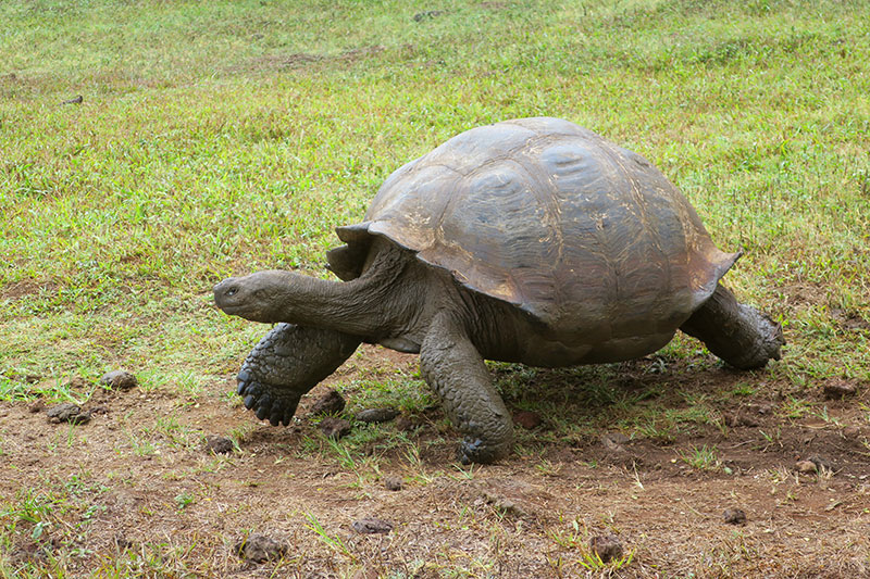 Galápagos giant tortoise at Rancho El Chato - Photo by Hideaway Report editor