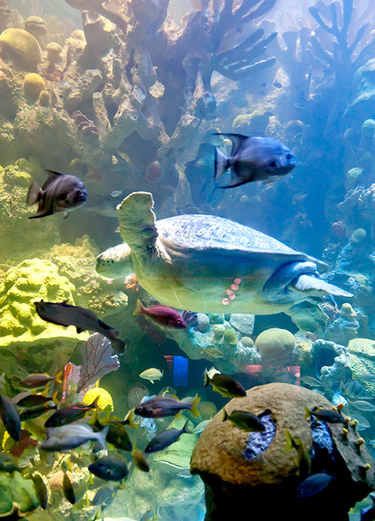 Myrtle, the 550-pound green sea turtle, swimming with a variety of tropical fish in the Giant Ocean Tank at the New England Aquarium - © W. Chappell