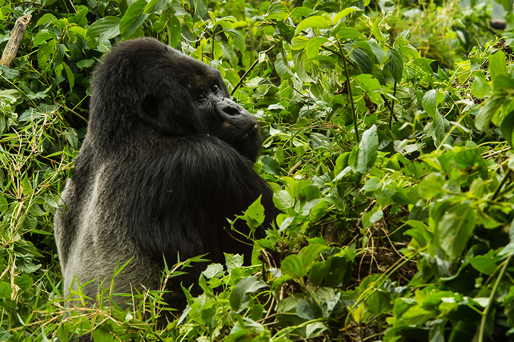 A mountain gorilla seen near Bisate Lodge in Ruhengeri, Rwanda