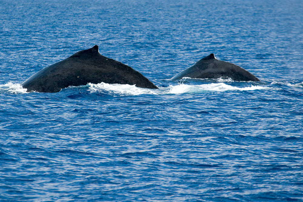 A humpback cow and her calf off the coast of Maui