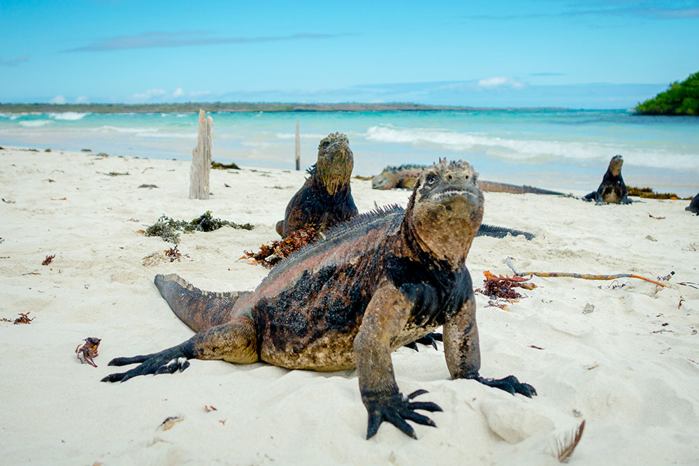 Iguanas on a beach on Santa Cruz Island in the Galápagos