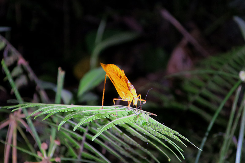 Katydid on a night hike near Mashpi Lodge - Photo by Hideaway Report editor