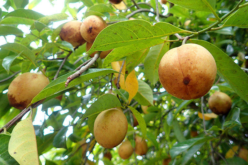 Nutmeg fruit at the spice farm - Photo by Hideaway Report editor