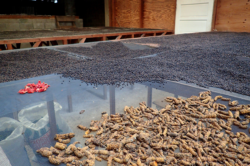 Turmeric, mace (red shell of nutmeg seed) and peppercorns in the drying room at the spice farm - Photo by Hideaway Report editor