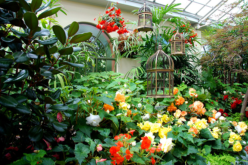 Display of tuberous begonias in the Conservatory at Fitzroy Gardens - Photo by Hideaway Report editor