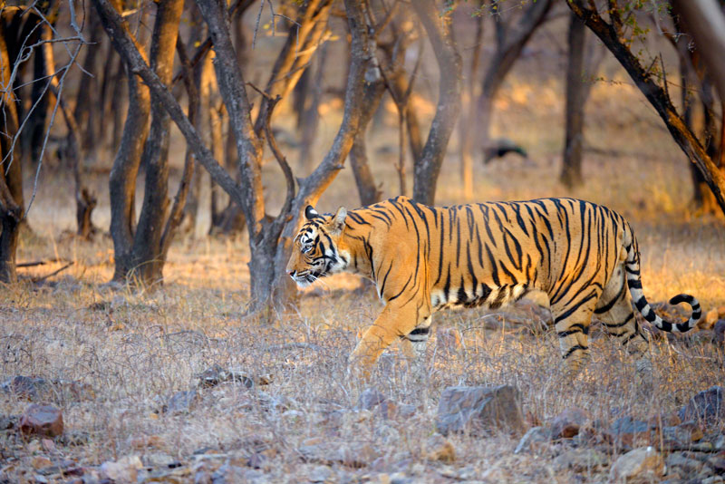 Bengal tiger in Ranthambore National Park - © Aditya Singh/Thinkstock