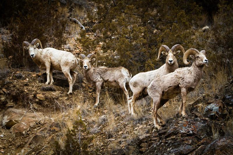 Bighorn sheep at The Ranch at Rock Creek