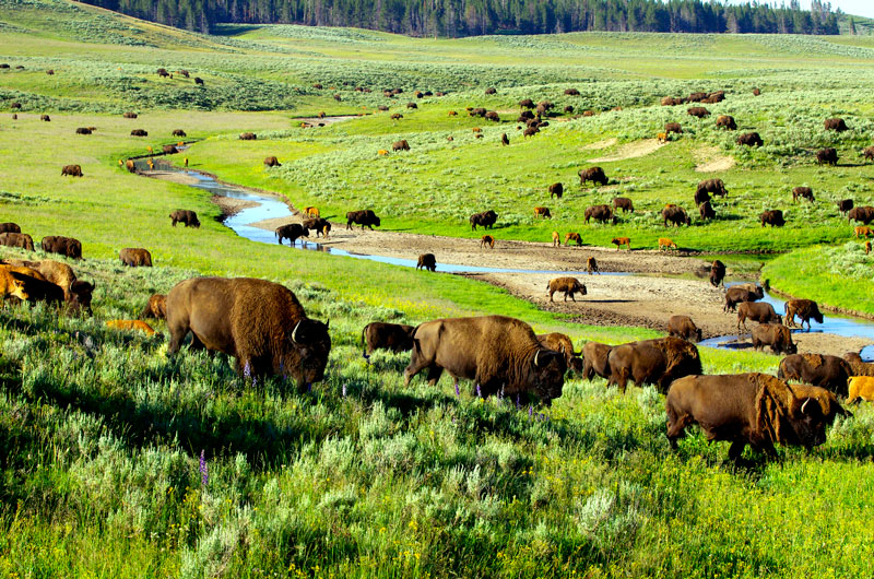 A herd of bison grazing in Yellowstone National Park
