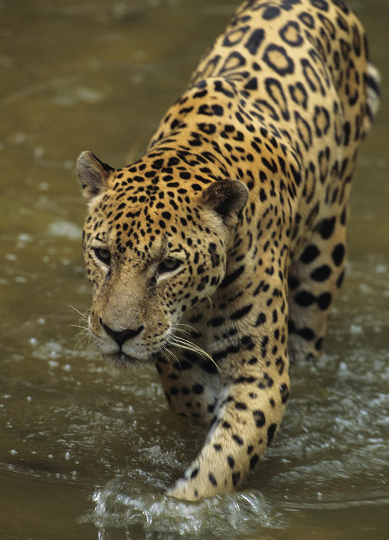 Jaguar walking through water, Brazil