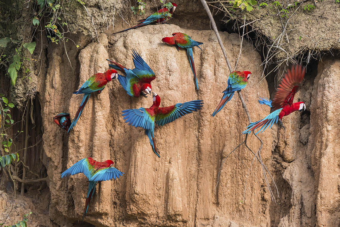 Macaws in the Amazon, Brazil
