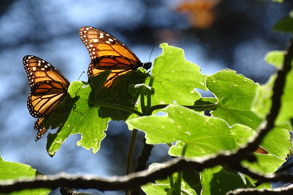 Monarch butterflies resting on a branch at the Piedra Herrada Monarch Butterfly Sanctuary