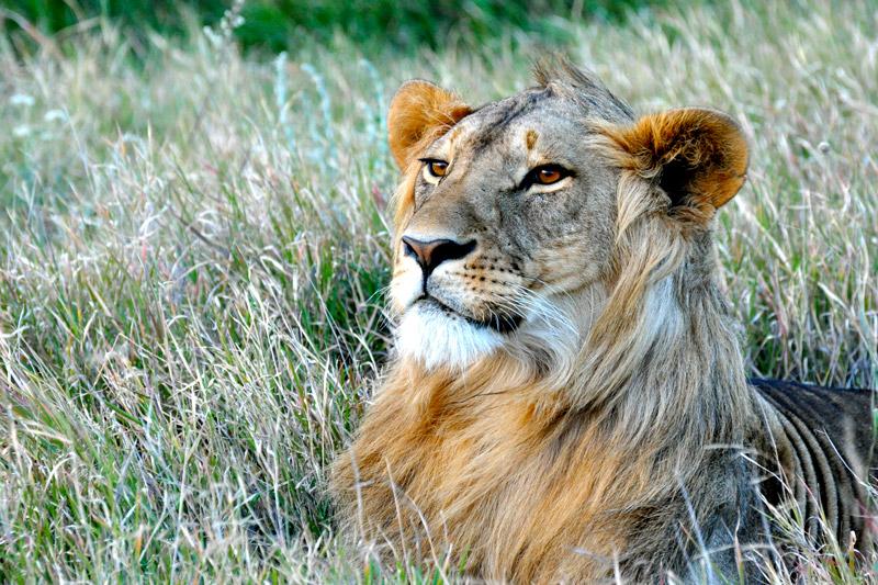 Male lion near Lewa Wilderness Lodge, Kenya