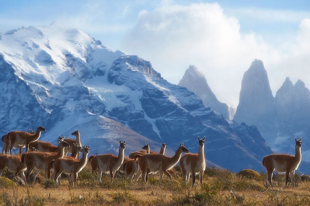 A herd of guanaco at the Andean foothills in Torres del Paine National Park