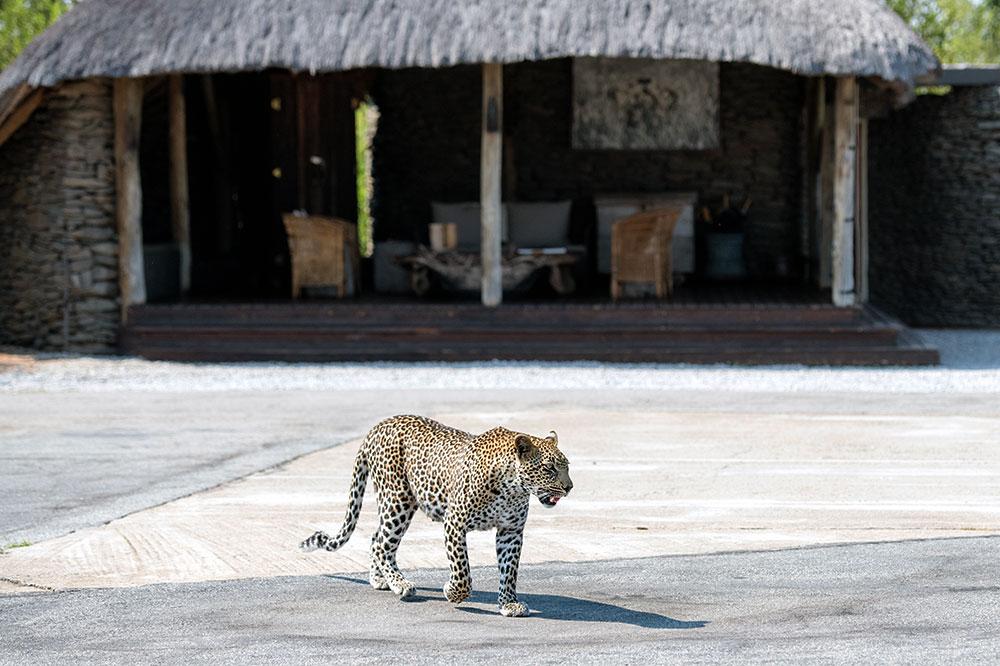 A leopard at Singita Boulders Lodge
