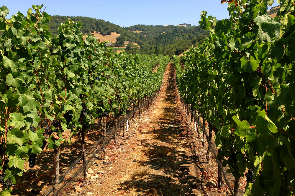 Vineyards at Château Boswell