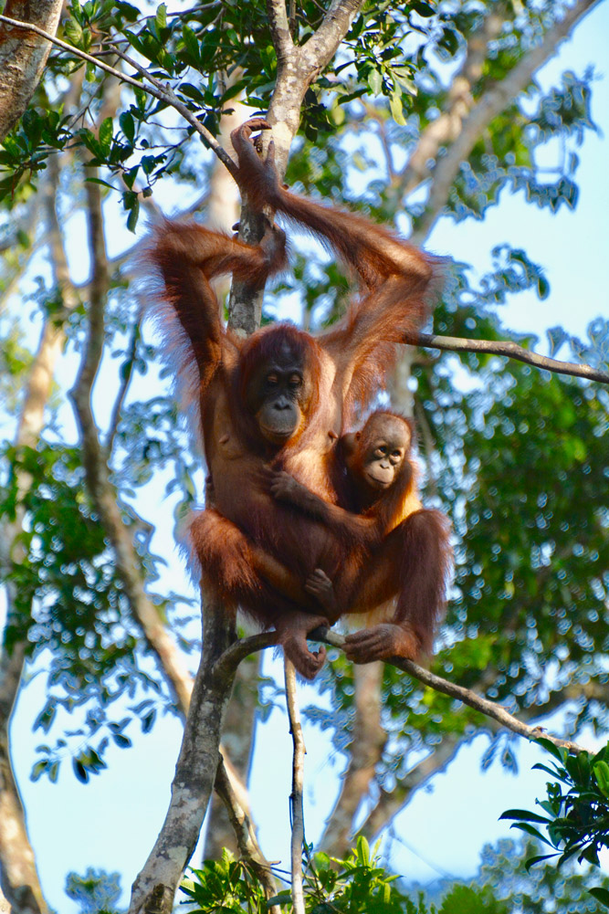 A mother orangutan and her young baby were part of the troop seen at the feeding platform