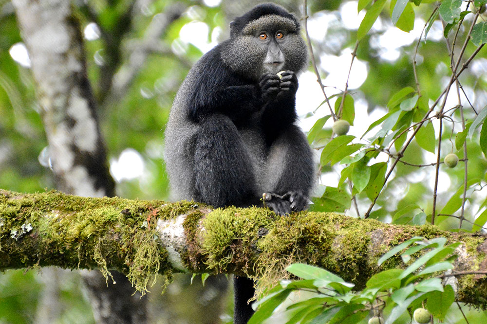 A blue monkey in Nyungwe Forest National Park