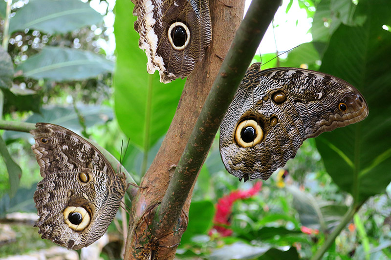 Yellow-edged giant owl butterflies in the Life Centre at Mashpi Lodge - Photo by Hideaway Report editor