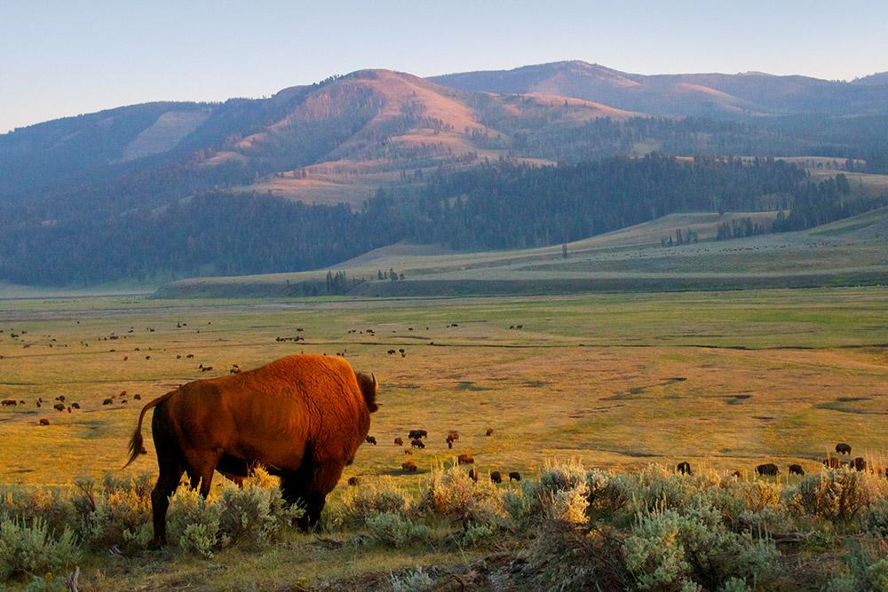 An American bison gazes across a plain in Yellowstone National Park