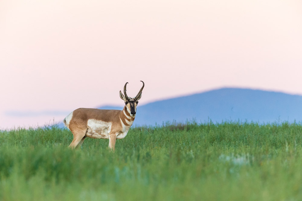 A lone pronghorn on the range at Vermejo Park Ranch