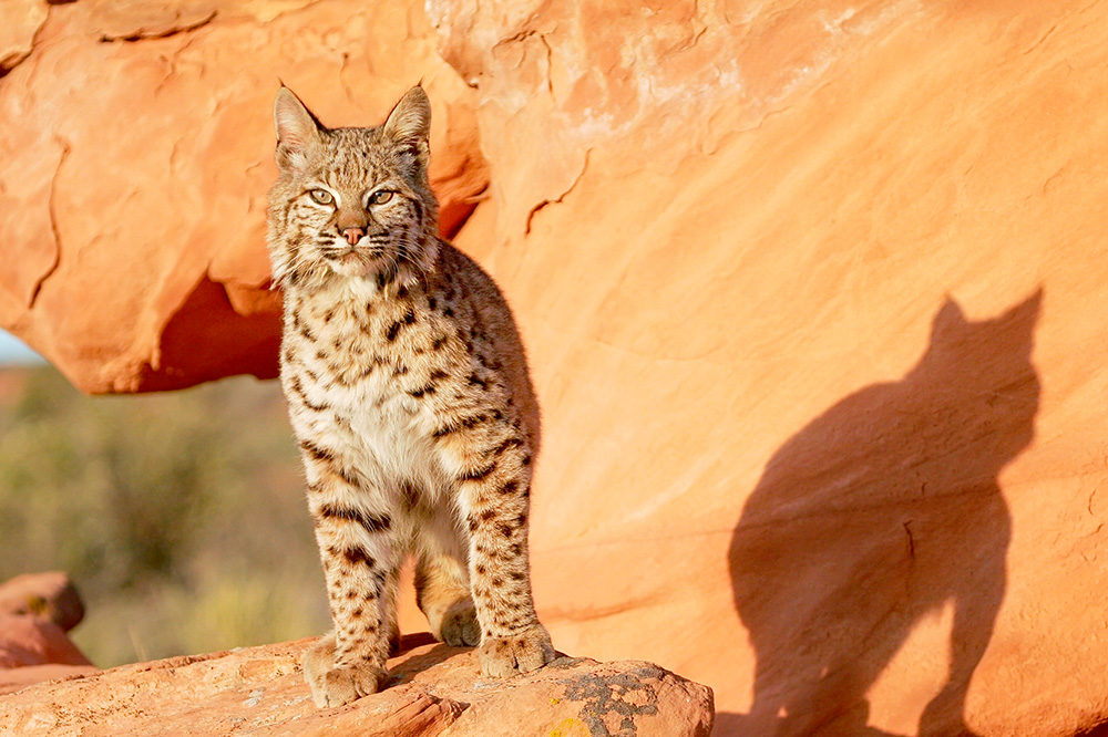A desert bobcat standing on red rocks