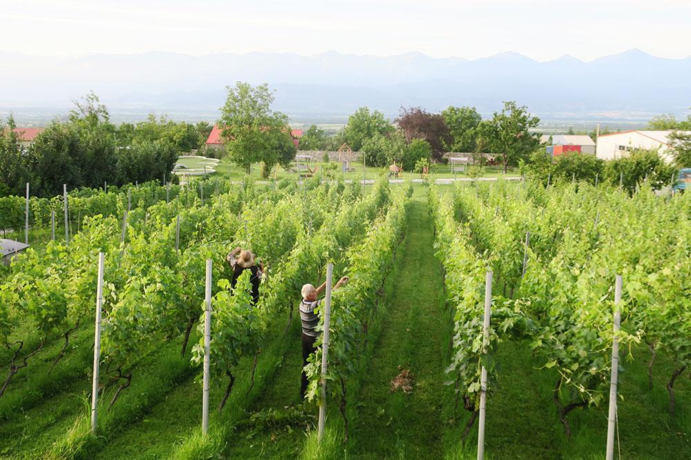 Vineyards at the Schuchmann Hotel in Telavi