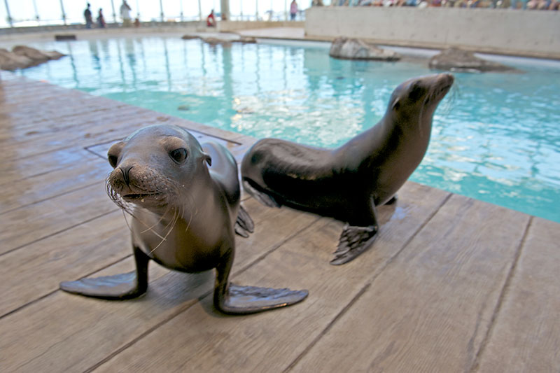 California sea lion pups at the New England Aquarium - © K. Ellenbogen
