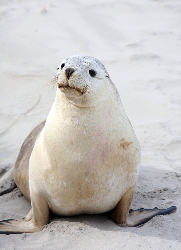 A seal near Southern Ocean Lodge on Kangaroo Island, Australia - Southern Ocean Lodge