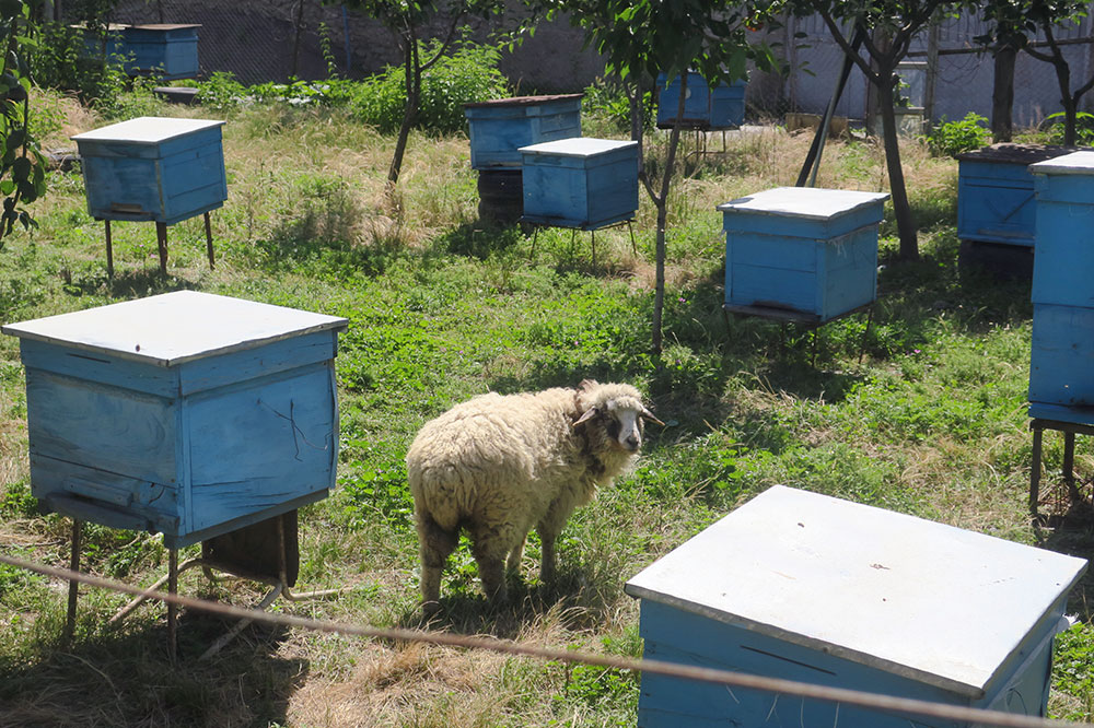 Beehives and a sheep at Old Vine Family Cellar in Kvareli