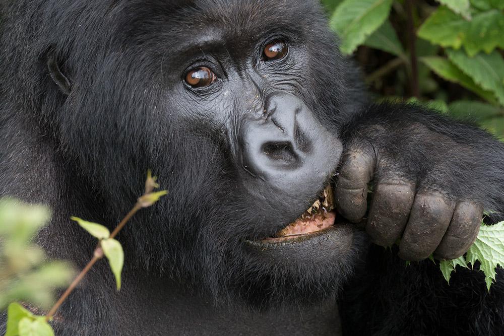 A mountain gorilla in Volcanoes National Park, Rwanda