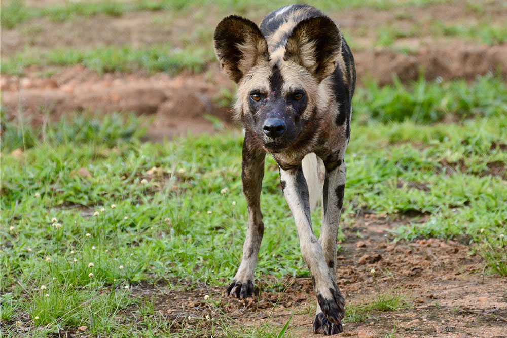 A wild dog seen on our game drive with Azura Selous in the Selous Game Reserve