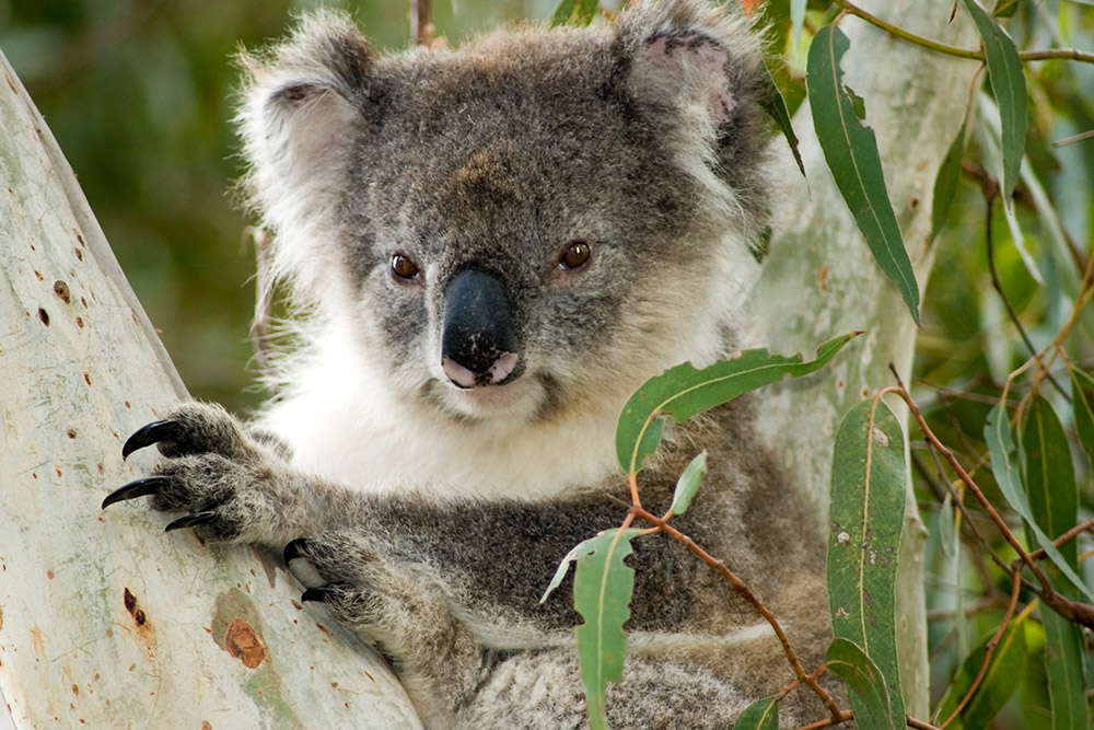 Kangaroos Land