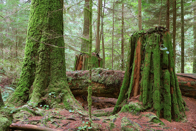 Lush old-growth forest still covers portions of the Capilano River Regional Park. - Photo by Hideaway Report editor