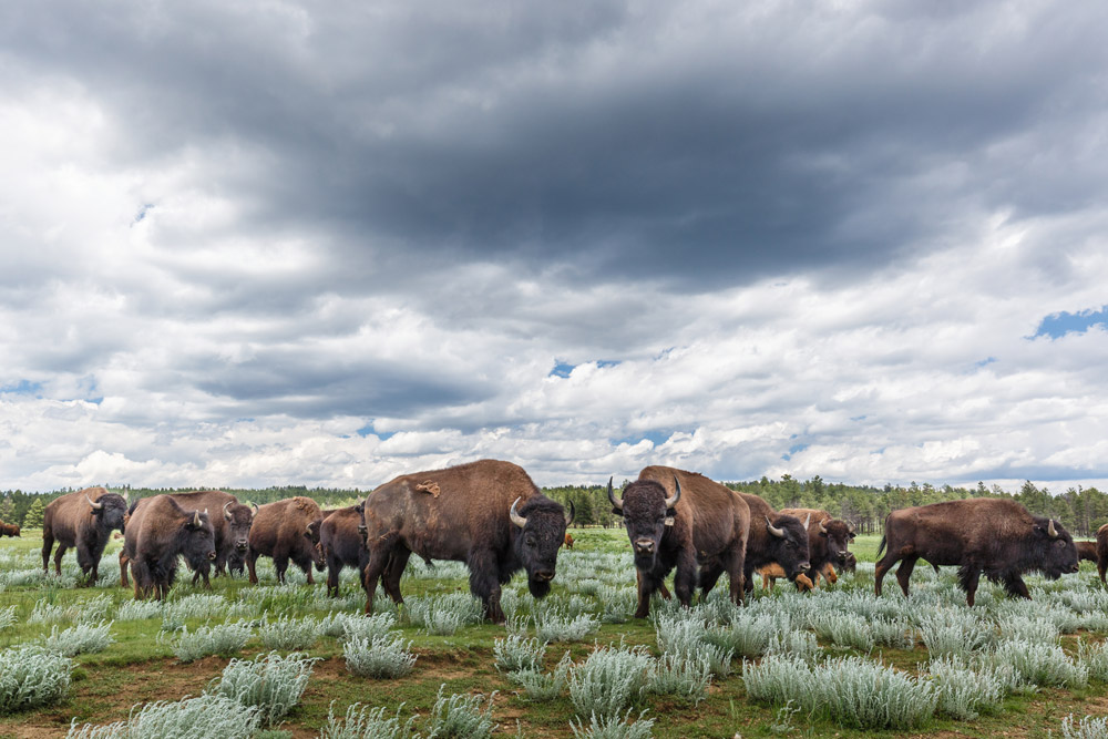 Part of Ted Turner's bison herd roaming Vermejo Park Ranch