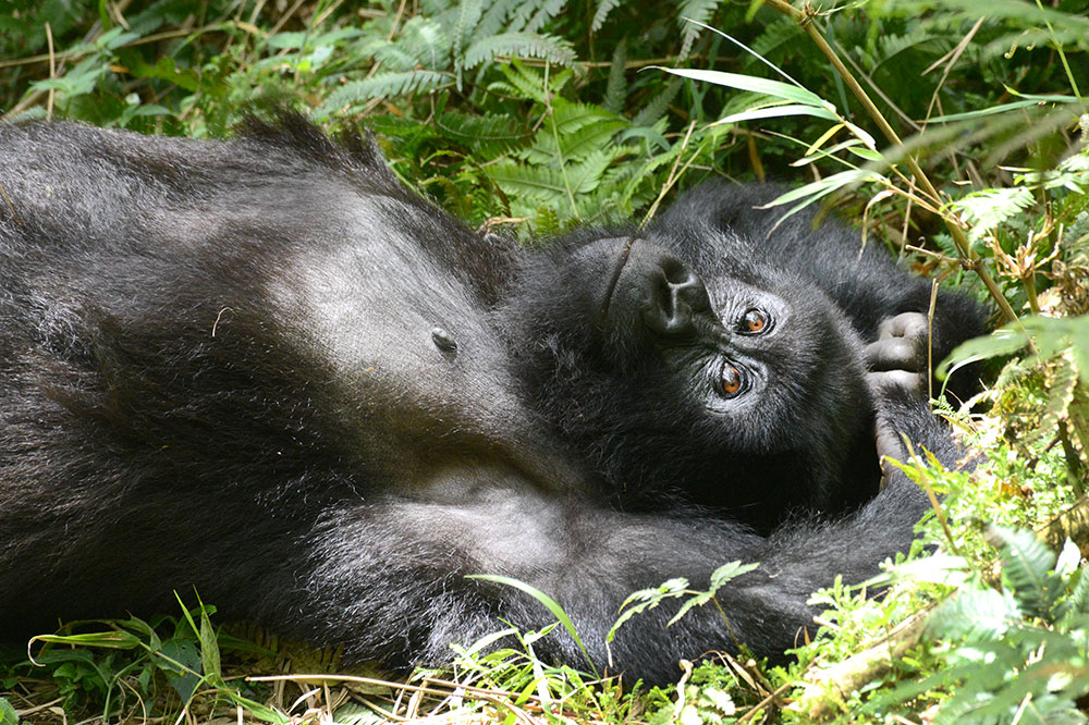 A mountain gorilla in the Agashya group in Volcanoes National Park