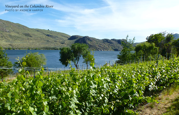 Vineyard on the Columbia River
