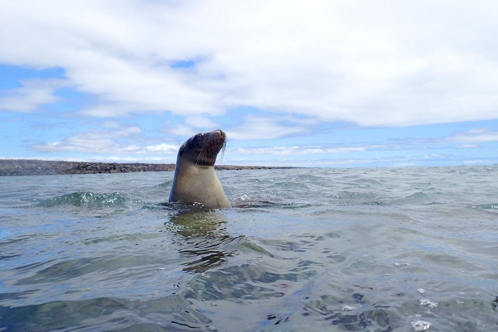 Sea lion coming up for air during our snorkeling excursion near Mosquera Island