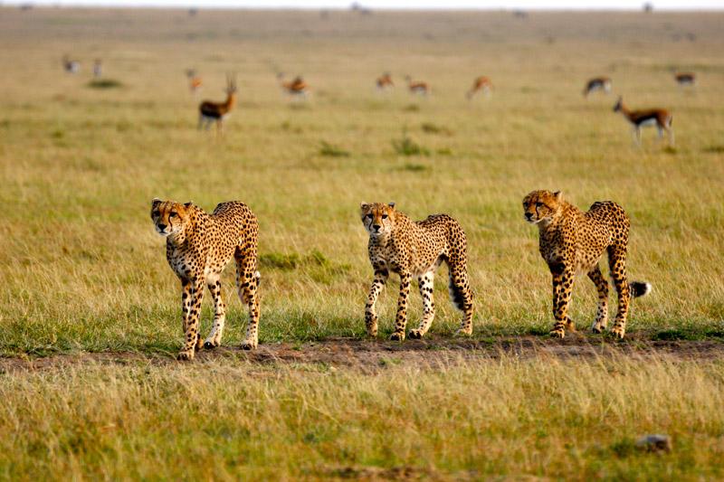 Cheetahs at Mara Toto Camp, Maasai Mara, Kenya