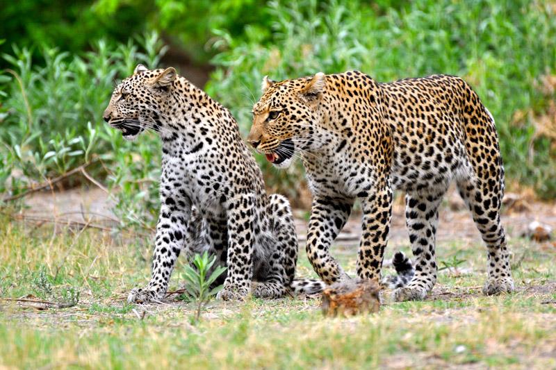 Two Leopards in Selinda Reserve, Botswana