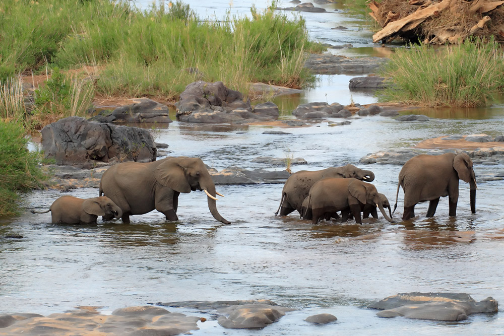 African Elephant herd crossing a large river