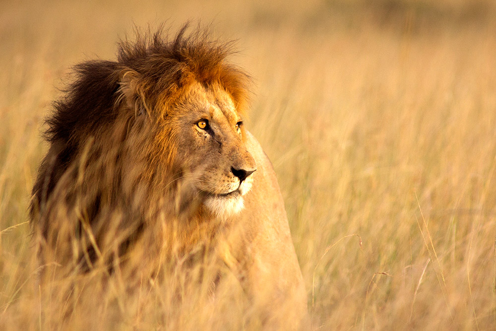 Large male lion in Masai Mara, Kenya