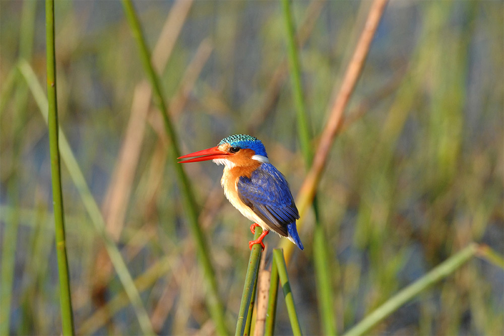 Malachite Kingfisher perched on a reed in the Okavango Delta