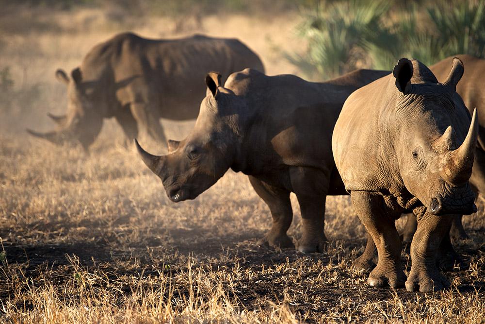 Rhino in Malilangwe Reserve, Zimbabwe